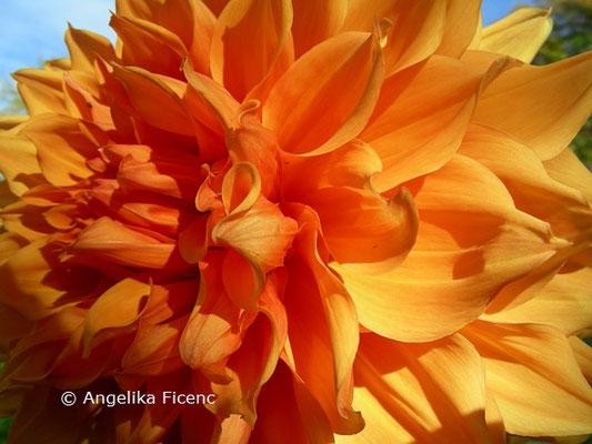 """Dahlia """"Bill Homberg""""   © Mag. Angelika Ficenc"""