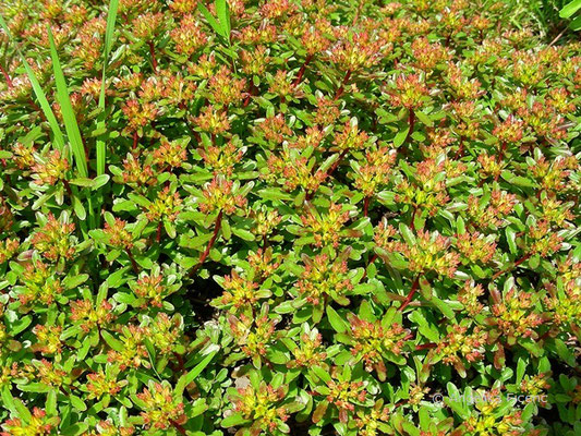 Phedimus floriferus - Polster Fettblatt