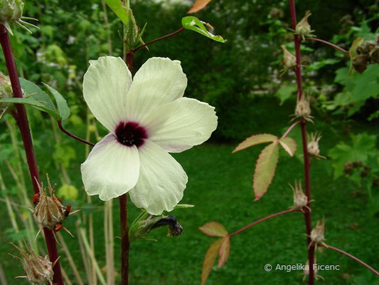 Hibiscus sabdariffa - Rosella Hanf  © Mag. Angelika Ficenc