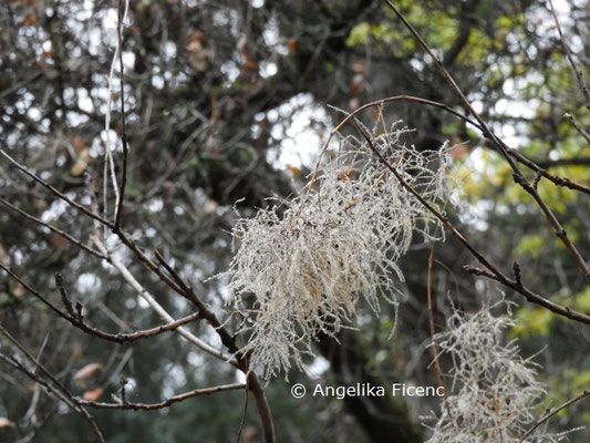 Cotinus coggyria © Mag. Angelika Ficenc