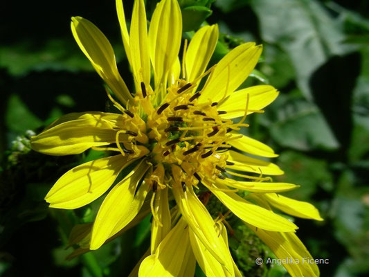 Silphium perfoliatum  © Mag. Angelika Ficenc