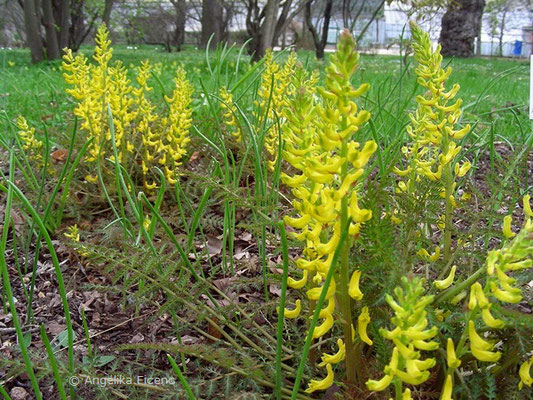 Corydalis cheilanthifolia - Farnblättriger Lerchensporn