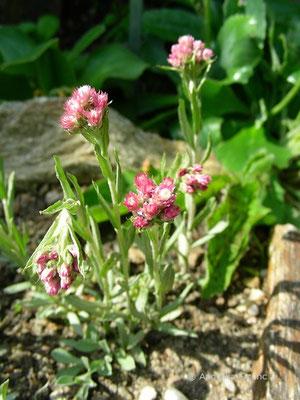 Antennaria rosea - Katzenpfötchen  © Mag. Angelika Ficenc