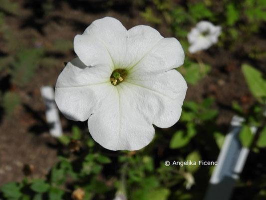 Petunia axillaris  © Mag. Angelika Ficenc