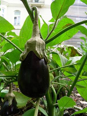 Solanum melongea - Melanzane