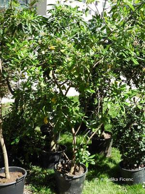 Pittosporum brevicalyx - Klebsame, Habitus
