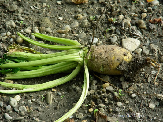 Brassica oleraceae var. sylvestris - Wilde Stammform von B. oleraceae