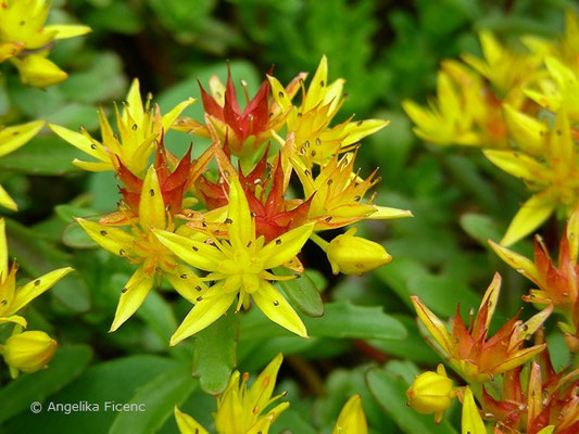 Phedimus floriferus - Polster Fettblatt, Blüten