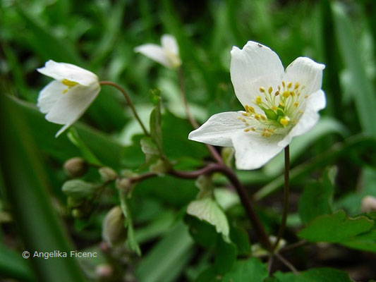 Isopyrum tralictoides - Muschelblümchen  © Mag. Angelika Ficenc