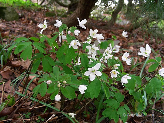Isopyrum thalictroides - Muschelblümchen