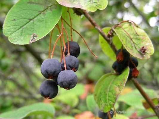 Cotoneaster niger - Schwarze Zwergmispel, reife Früchte