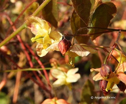 Epimedium pinnatum subsp. colchicum - Gefiederte Elfenblume  © Mag. Angelika Ficenc