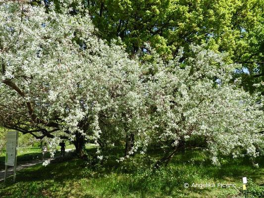 Elaeagnus angustifolia var. angustifolia  © Mag. Angelika Ficenc