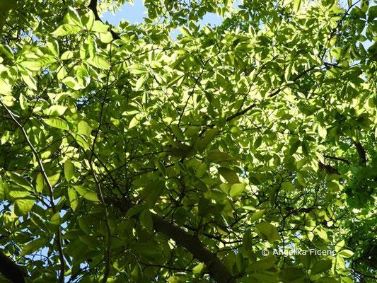 Magnolia x loebneri (M. kobus x M. stellata), Laubblätter