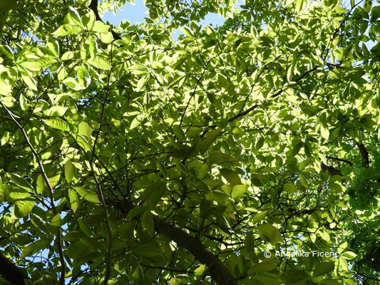 Magnolia x loebneri (M. kobus x M. stellata),   © Mag. Angelika Ficenc