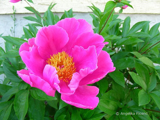 Pinkfarbene Pfingstrose, Blüte