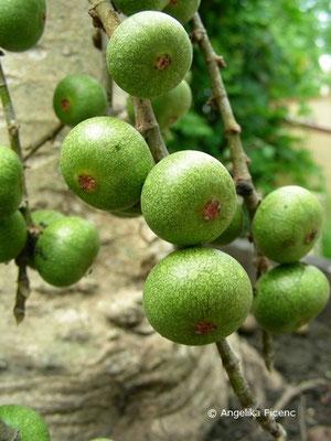 Ficus sur - Kap Feige
