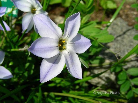 Ipheion unifloreum - Frühlingsstern, Einzelblüte, Seitenansicht