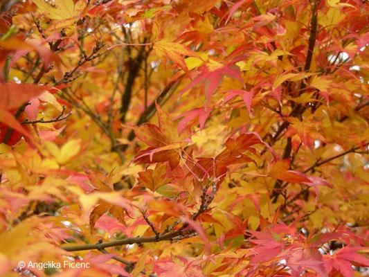 Acer palmatum - Fächerahorn      © Mag. Angelika Ficenc