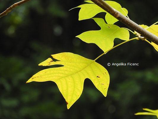 Liriodendron chinense  © Mag. Angelika Ficenc