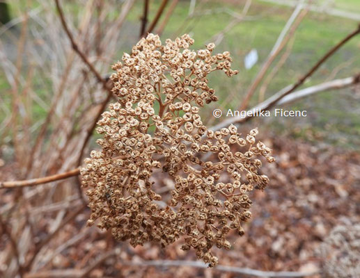 Hydrangea paniculata © Mag. Angelika Ficenc