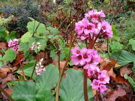 Bergenia cordifolia - Herzblättrige Bergenie  © Mag. Angelika Ficenc