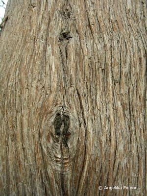 Platycladus orientalis (Thuja orientalis)  © Mag. Angelika Ficenc