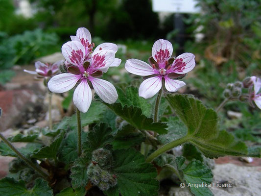 Erodium trifolium - Reiherschnabel  © Mag. Angelika Ficenc