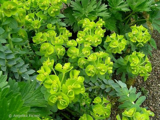Euphorbia myrsinites - Walzen Wolfsmilch, Habitus