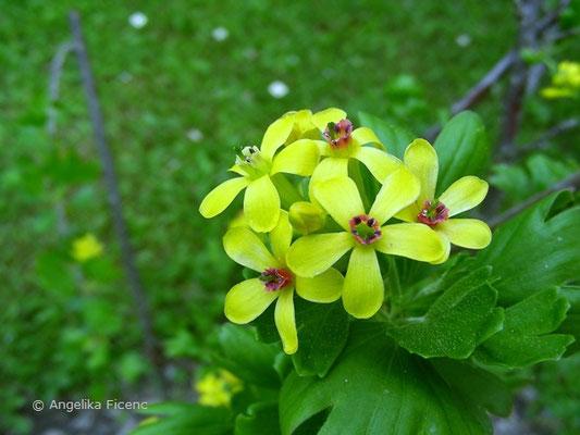 Ribes aureum - Goldjohannisbeere,   © Mag. Angelika Ficenc