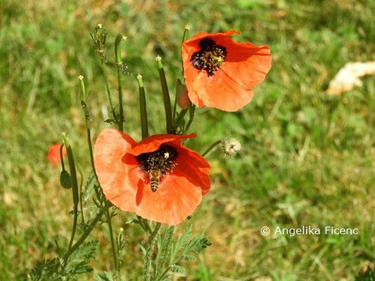 Roemeria hybrida  © Mag. Angelika Ficenc