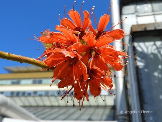 Greyia radlkoferi - Großer Honigbaum,   © Mag. Angelika Ficenc