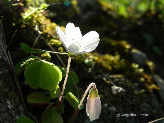 Oxalis acetosella - Wald Sauerklee, Gegenlichtaufnahme