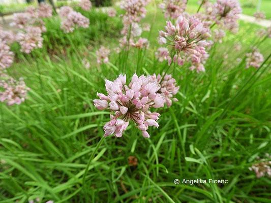 Allium angulosum  © Mag. Angelika Ficenc