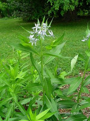 Amsonia angustifolia - Amsonie, Habitus