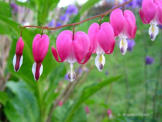 Tränendes Herz, Blüten