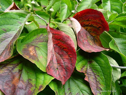 Cornus florida,Laubblätter in Herbstfärbung