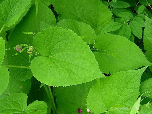 Lunaria redivia - Ausdauerndes Silberblatt, Laubblätter