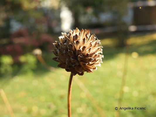 Cephalaria radiata, Fruchtstand