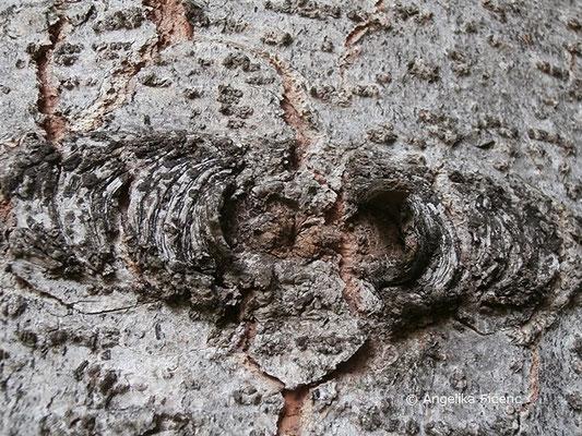 Abies cf x borisii-regis (A. alba x A. cephalonica) - König Boris-Tanne, Stamm, Borke