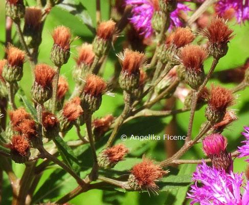 Vernonia crinita  © Mag. Angelika Ficenc