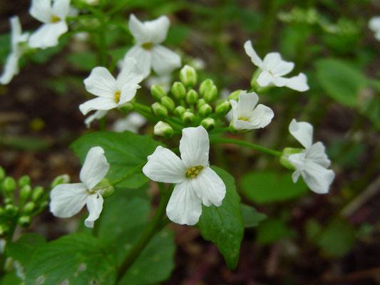 Pachxphragma macrophyllum - Scheinschaumkraut