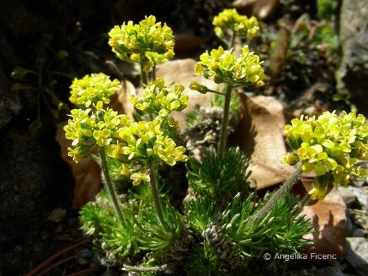 Draba hispanica - Spanisches Felsenblümchen  © Mag. Angelika Ficenc