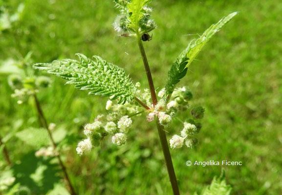 Urtica pilulifera, Blüten  © Mag. Angelika Ficenc