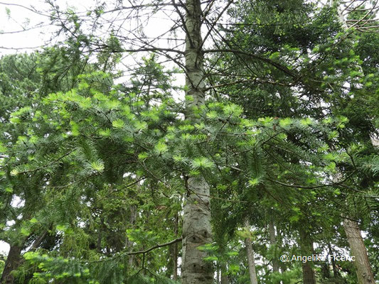 Abies concolor  © Mag. Angelika Ficenc