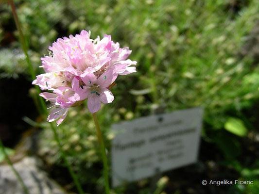 Armeria marginata, Blütenstand