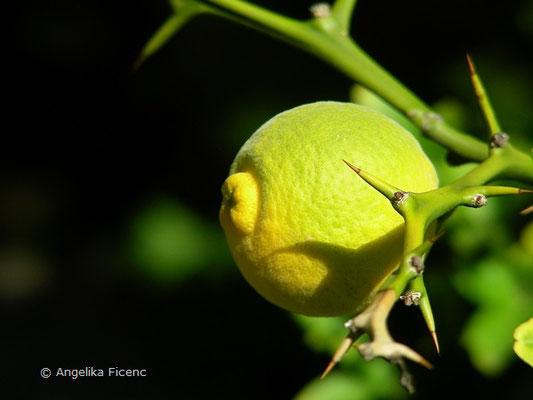 Poncirus trifoliata - Bitterorange, reife Frucht