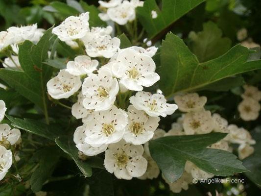 Crataegus monogyna - Eingriffeliger Weißdorn, Blüten