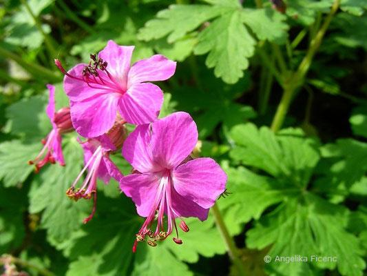 Geranium macrorrhizum - Felsen-Storchschnabel, Blüten