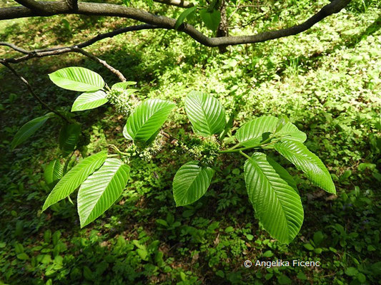 Rhamnus imeretina - Kaukasischer Kreuzdorn,   © Mag. Angelika Ficenc